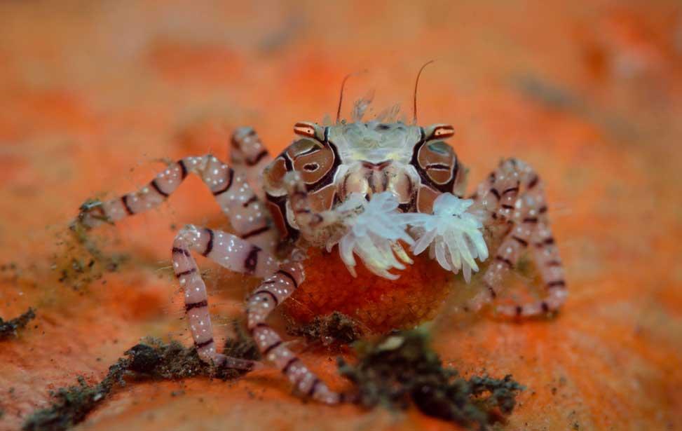 boxer-crab-scuba.jpg